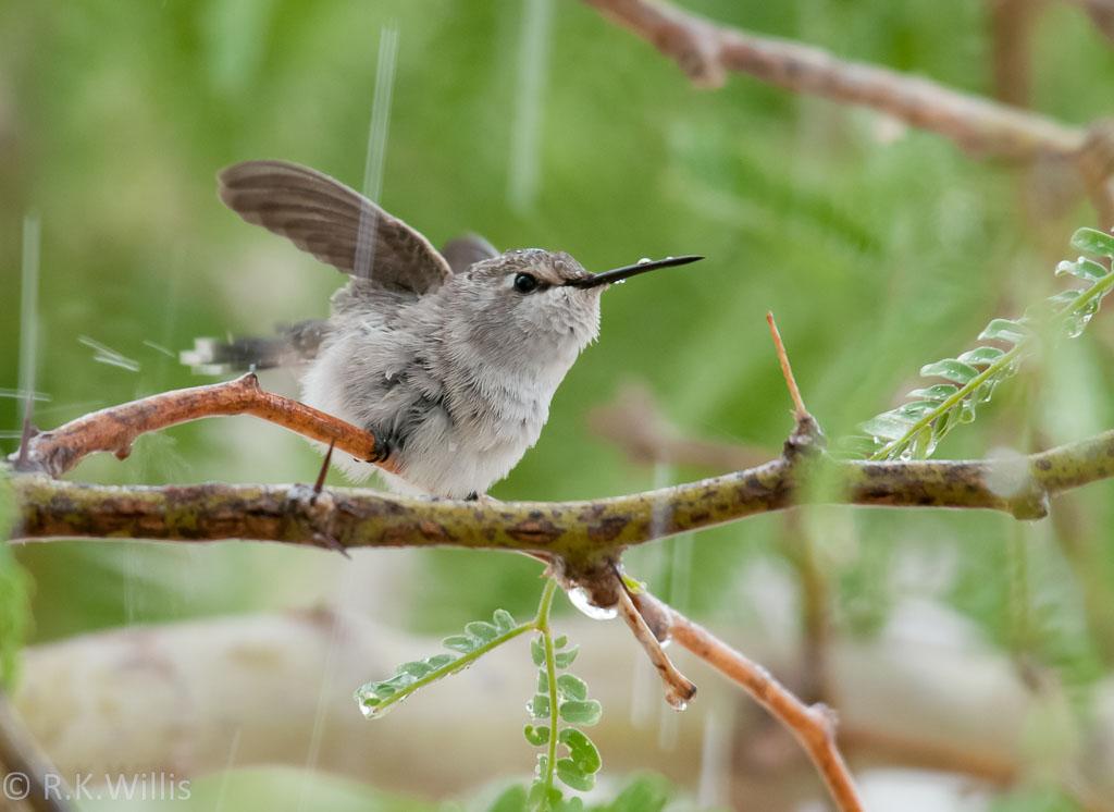 Costa's Hummingbird enjoying rain