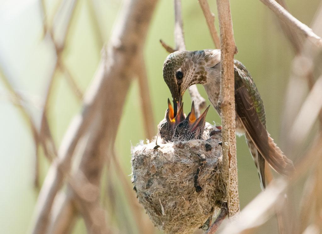 Costa's Hummingbird feeding chicks