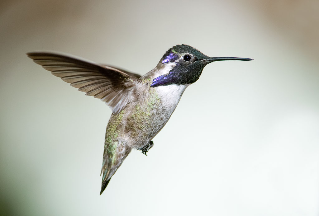 Costa's Hummingbird in flight