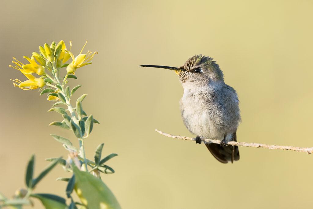 Costa's Hummingbird on bladder pod