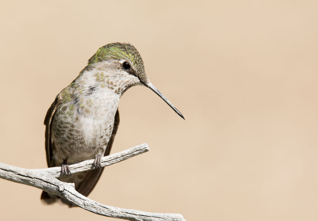 Costa's Hummingbird on twig