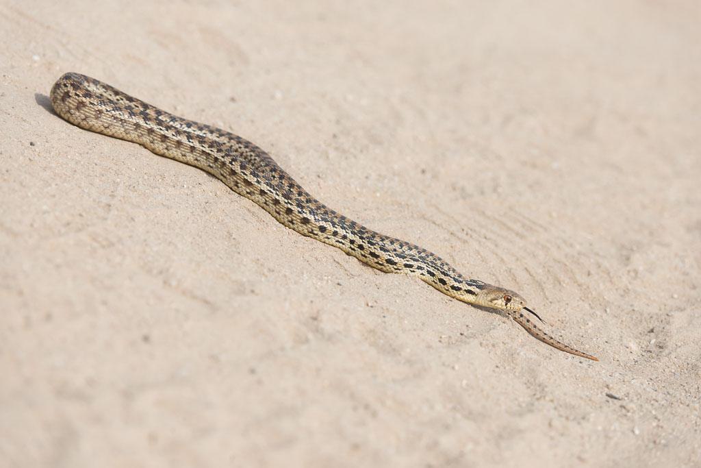 Gopher Snake basking-2
