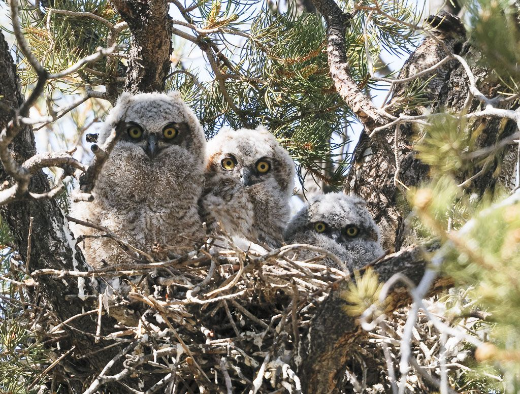 Great Horned Owl all three owlets