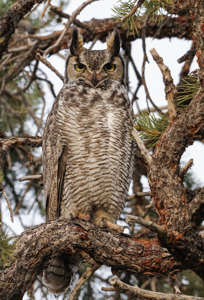 Great Horned Owl male in Pinyon tree (2)