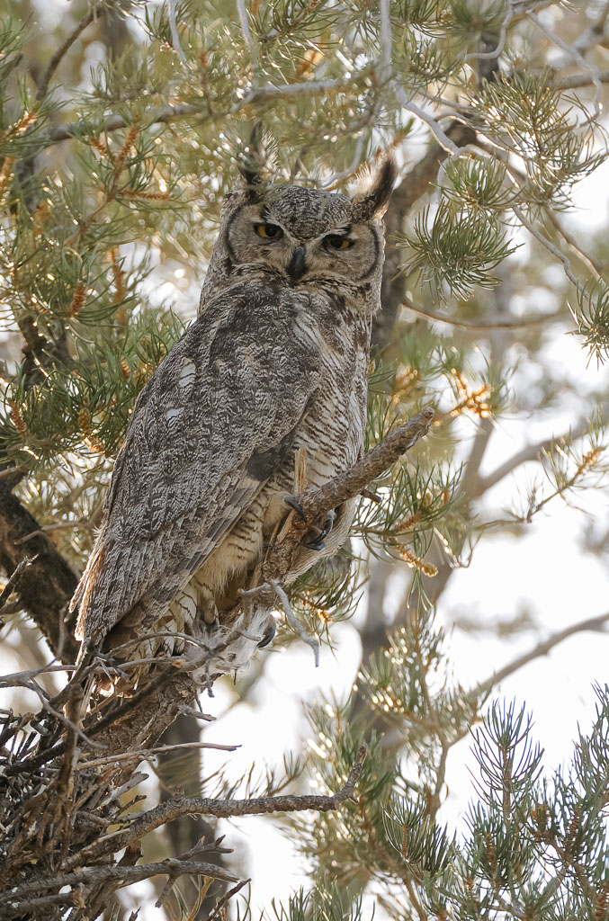 Great Horned Owl male in pinyon tree