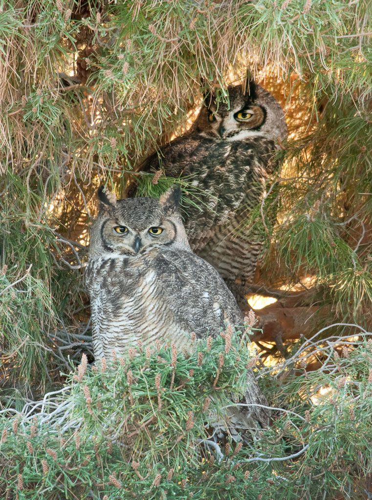 Great Horned Owl pair at roost