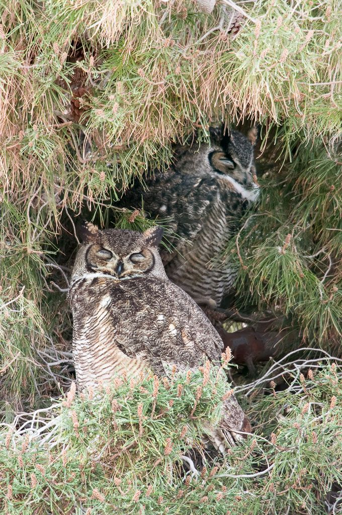 Great Horned Owl pair resting at day roost