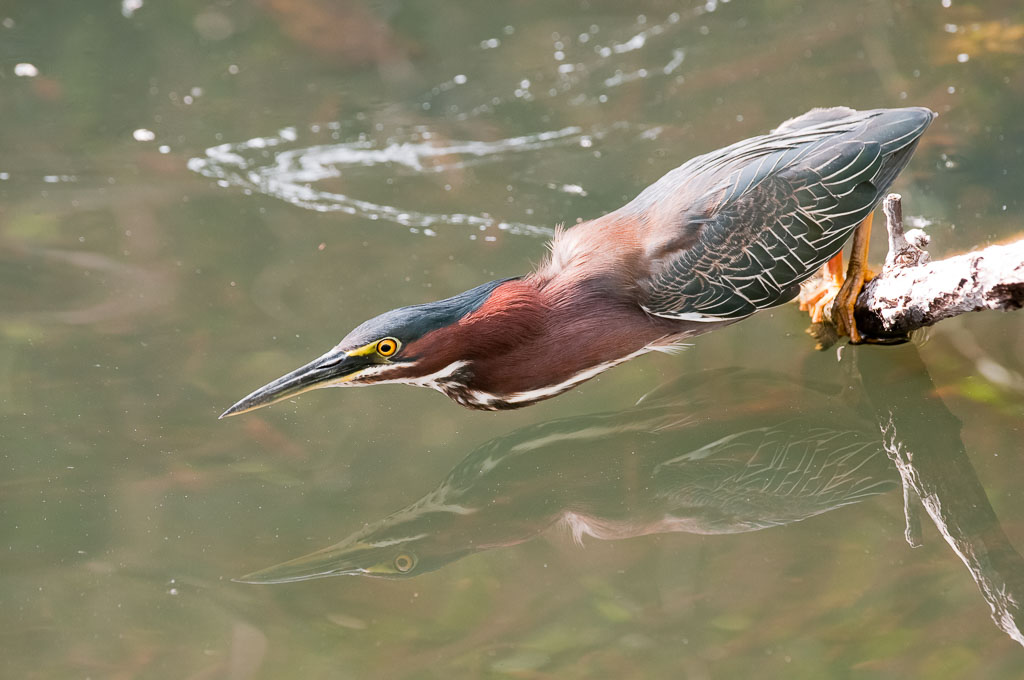 Green Heron fishing with reflection
