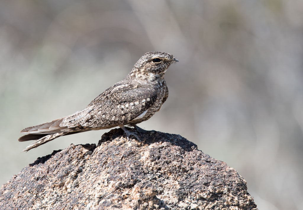 Lesser Nighthawk on granite