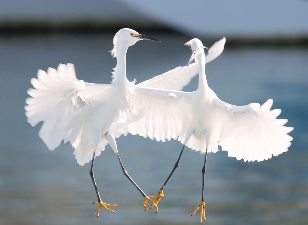 Little Egrets fighting-2