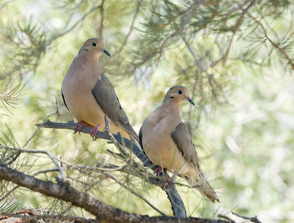 Mourning doves pair in pinyon tree