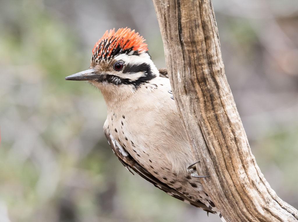 Nuttall's Woodpecker on branch-2