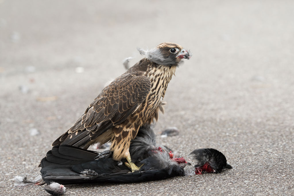 Peregrine juvenile with crow