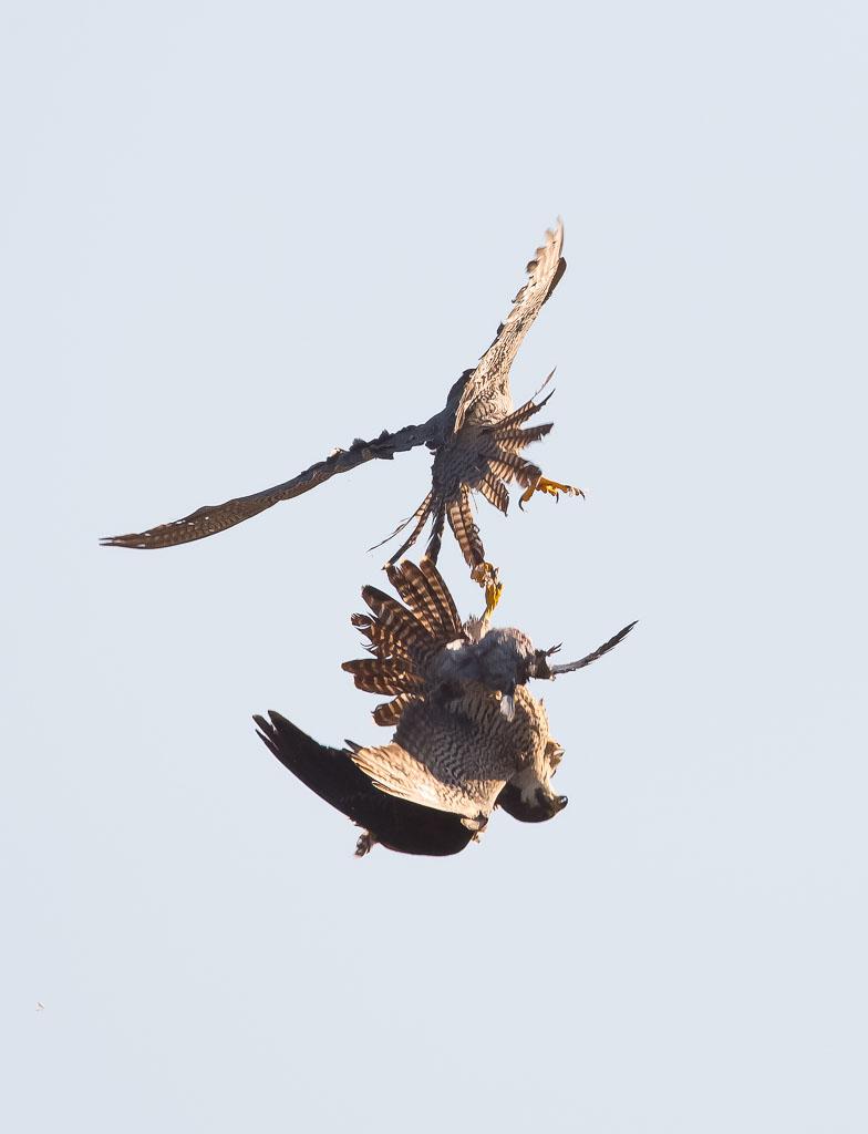 Peregrine passing prey