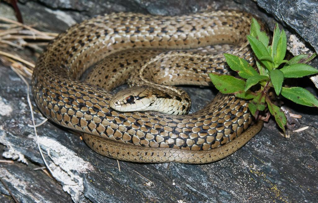 Puget Sound Garter Snake basking