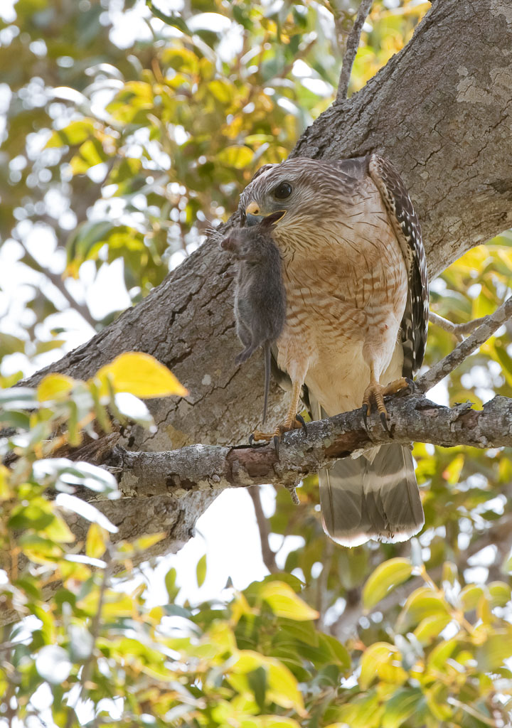 Red-shouldered Hawk with vole (2)