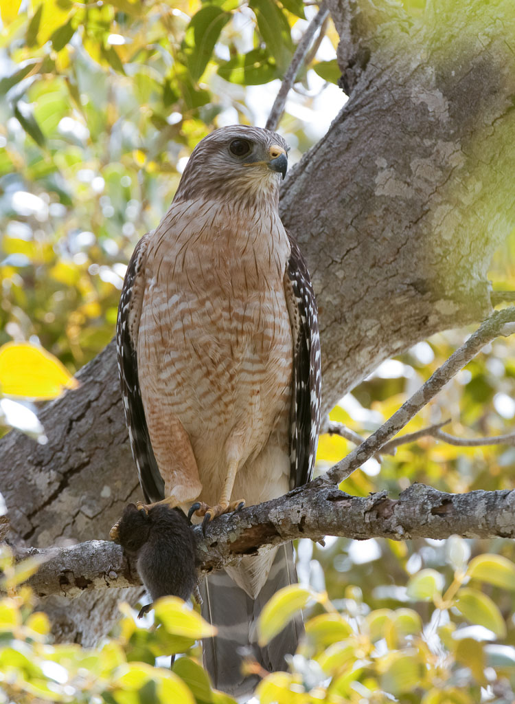 Red-shouldered Hawk with vole (3)