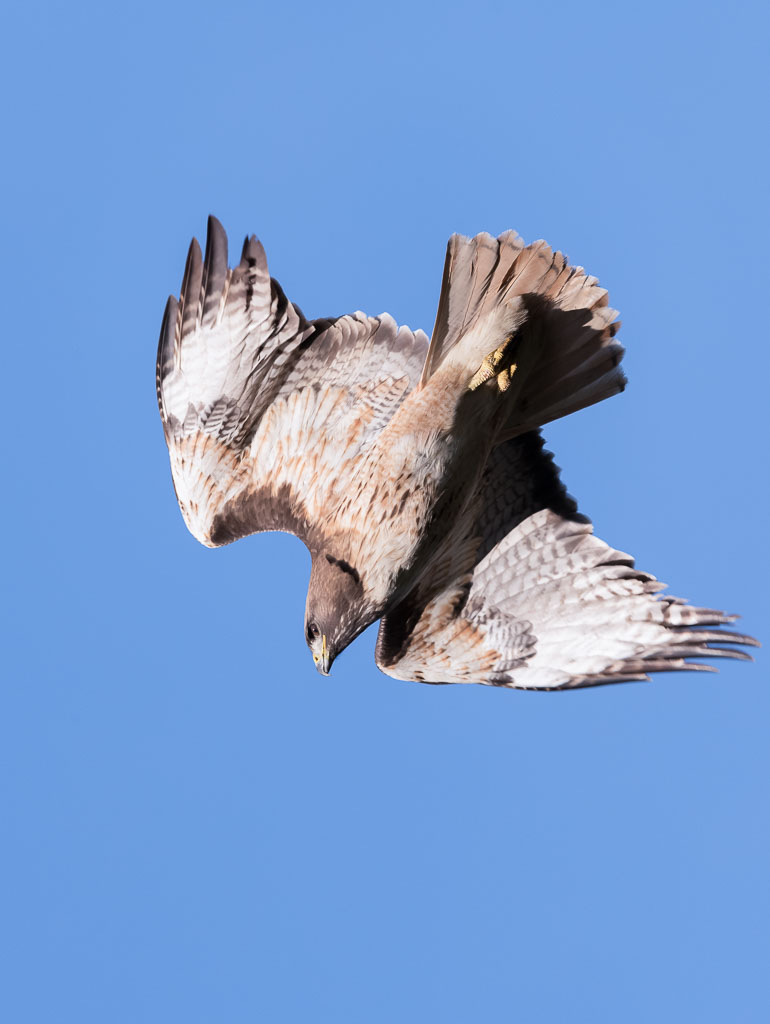 Red-tailed Hawk in stoop-2