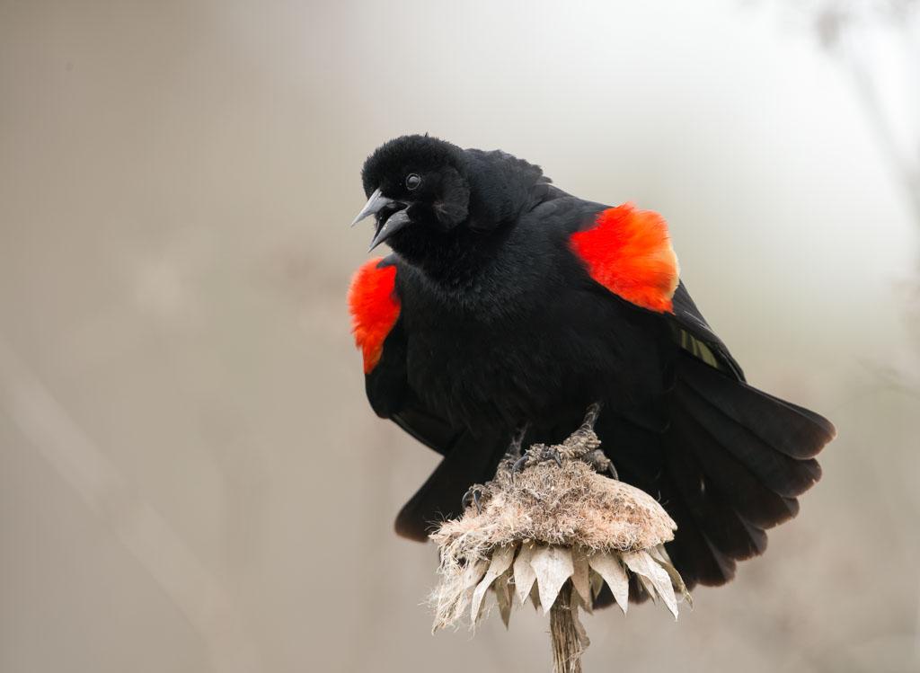 Red-winged Blackbird displaying red lapel
