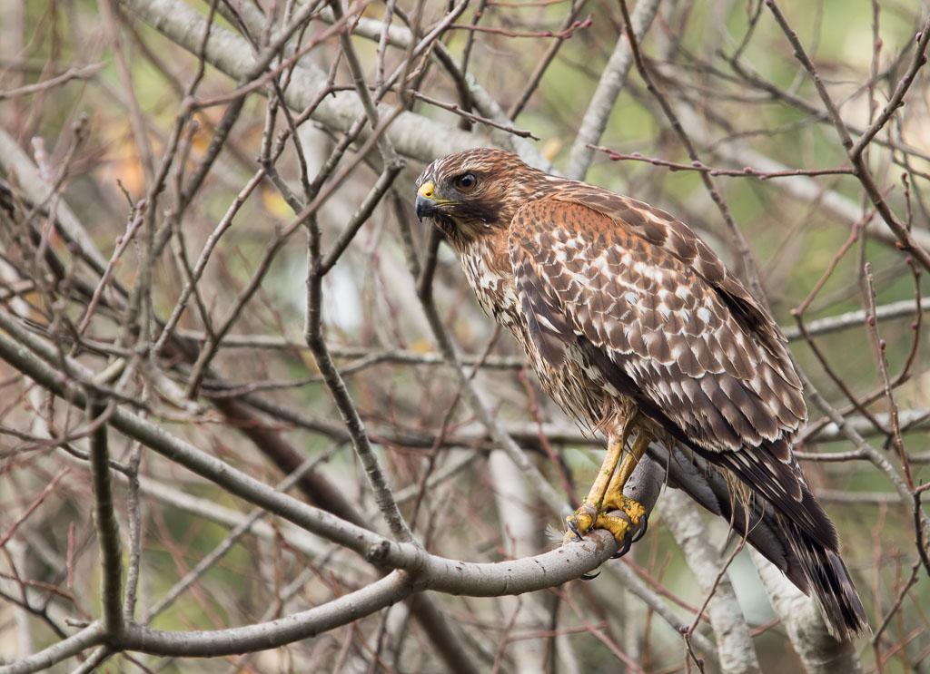 Red Shouldered Hawk in bush
