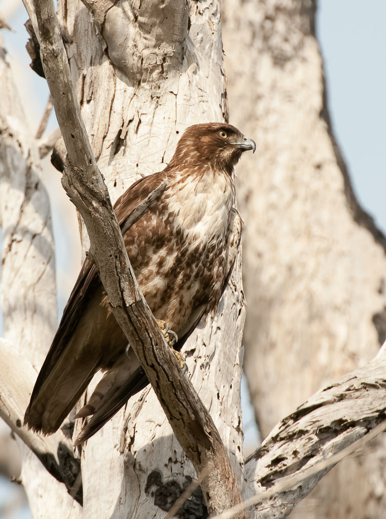 Red tailed Hawk first year