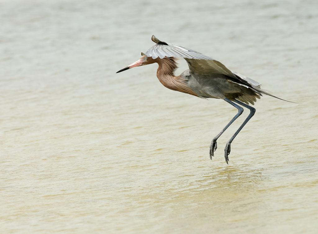 Reddish Egret canopy fishing