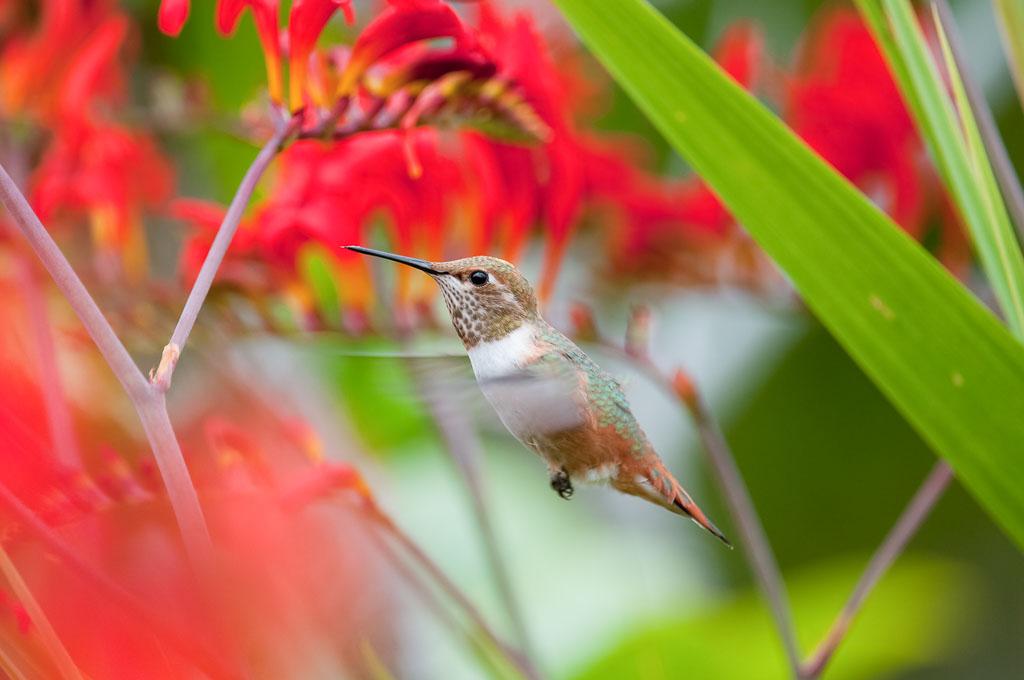 Rufus Hummingbird in flight