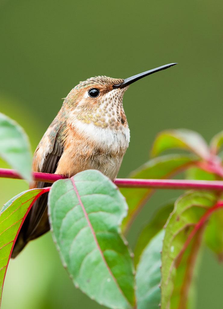 Rufus Hummingbird juvenile