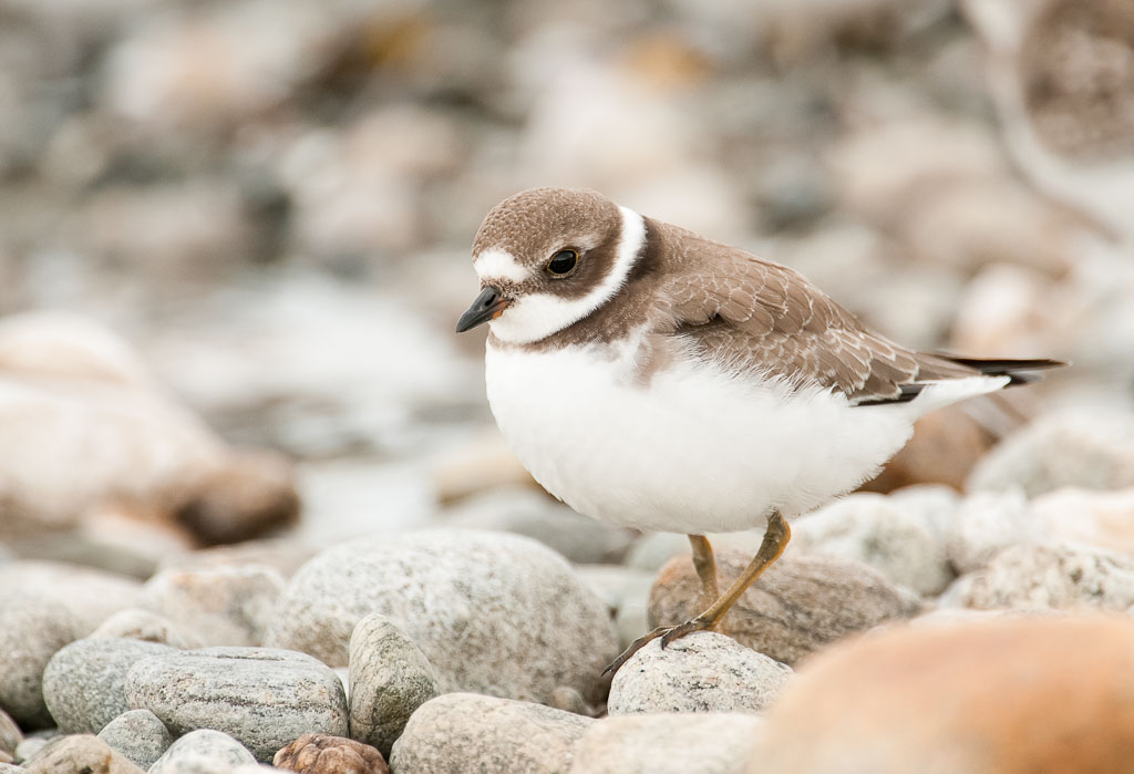Semipalmated Plover on pebbles