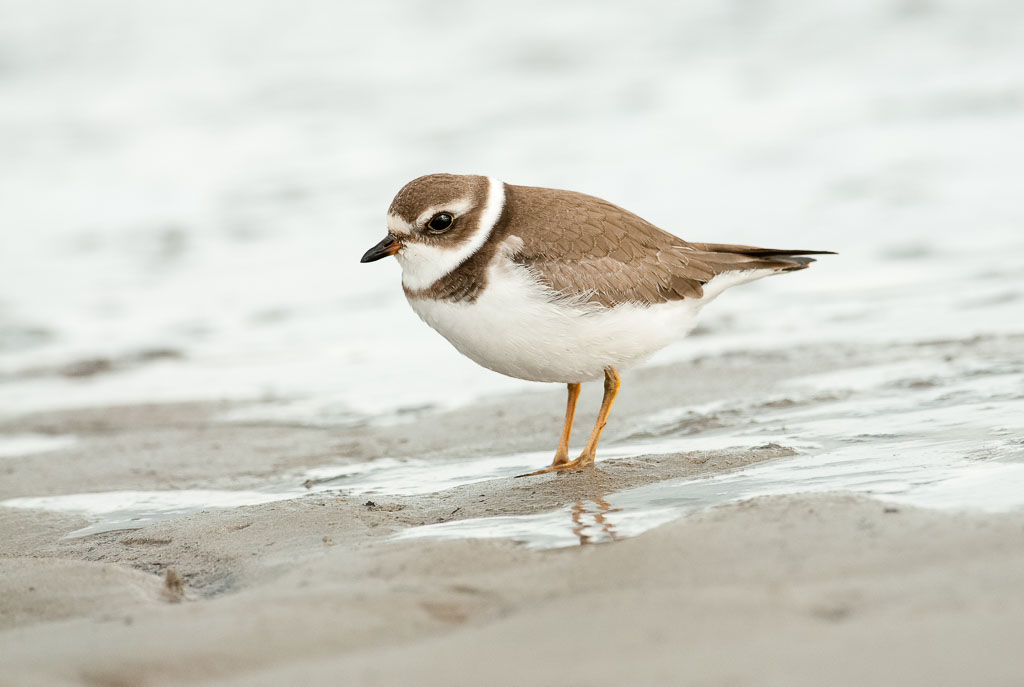 Semipalmated Plover on sand