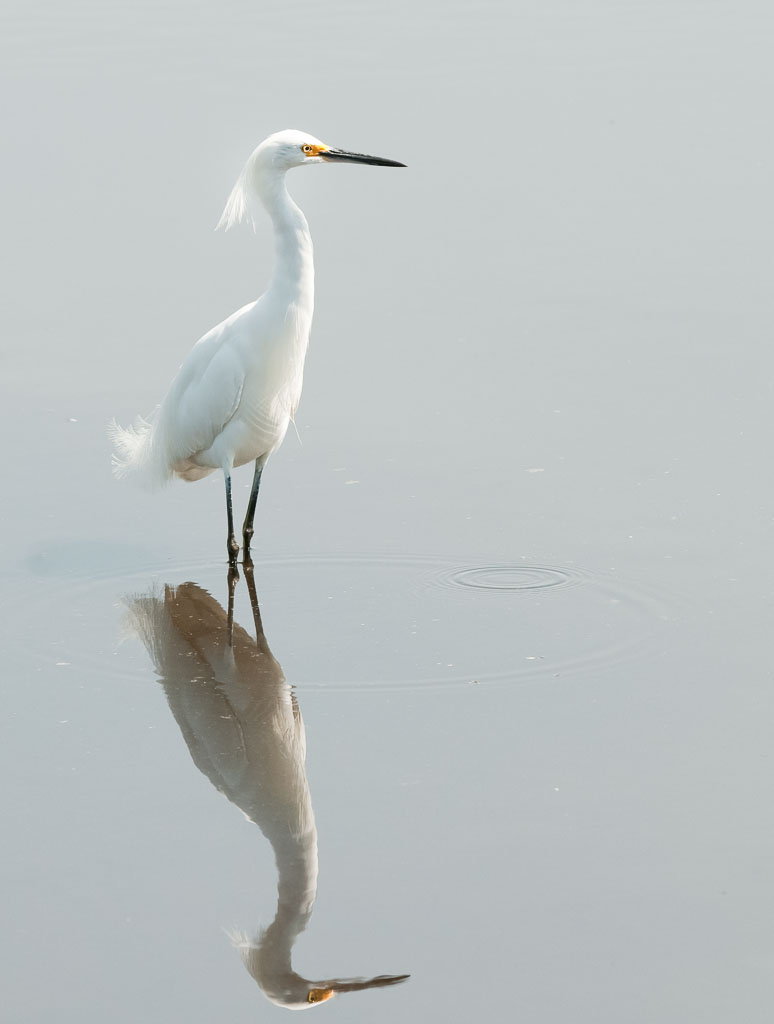 Snowy Egret reflection and ripples