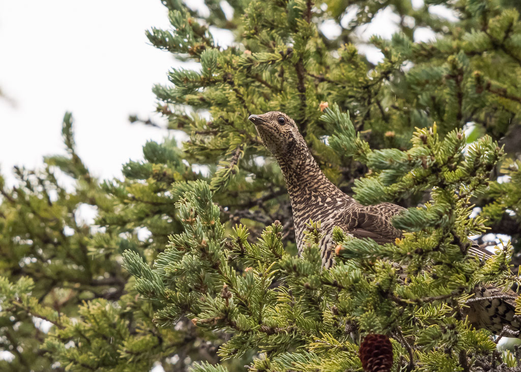 Spruce Grouse in tree-2