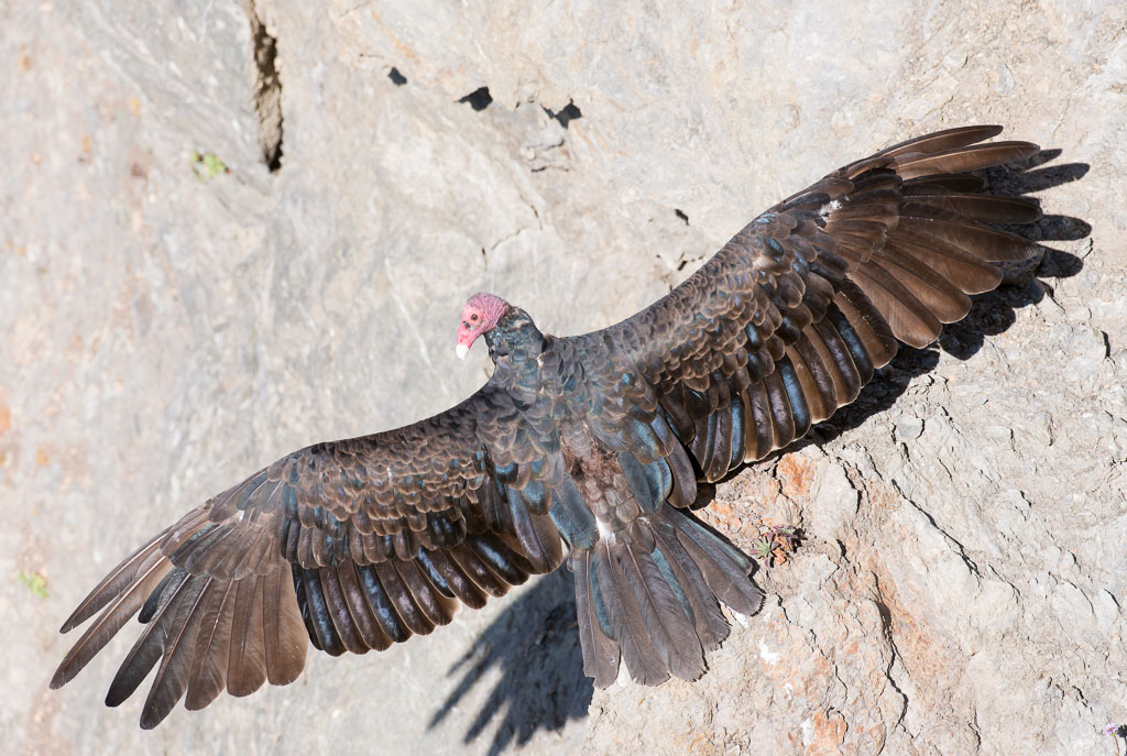 Turkey vulture sunning displaying full wings