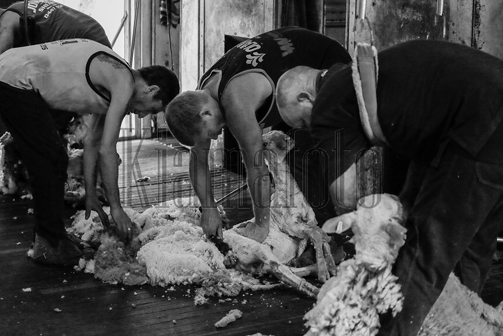 Shearers in the shed