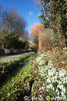 Snowdrop-Lane