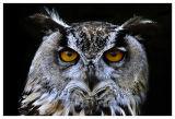 Bengal Owl