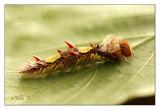 Caterpillar (Blue-morph Butterfly )