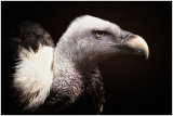 Ruppell`s Vulture
