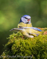 A trio of blue tits on mossy log