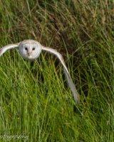 Barn owl in flight wings bent