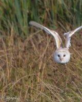 Barn owl in flight wings bent high
