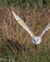 Barn owl in flight wings in V shape