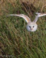 Barn owl in flight wings bent overhead