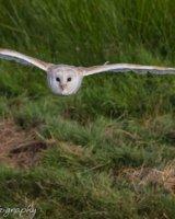 Barn owl wings spread