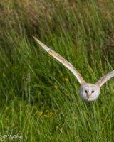 Barn owl in flight wings high