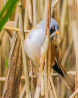 Bearded tit - (Panurus biarmicus) male hiding on a reed stem
