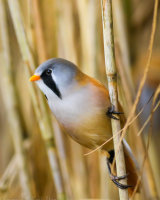 Male bearded tit (Panurus biarmicus) on a reed stem