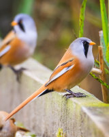 Bearded tit (Panurus biarmicus) Male and Female