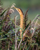 Bittern on top of the reeds