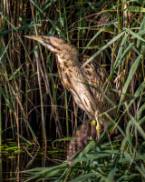 Bittern emerging from the reeds